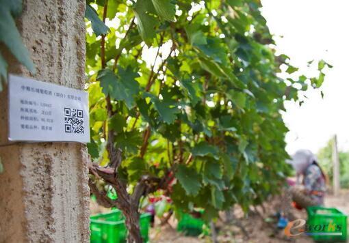 农场技术人员扫描二维玛可记录园内施药情况